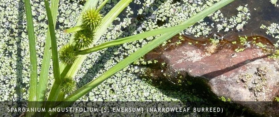 Sparganium angustifolium