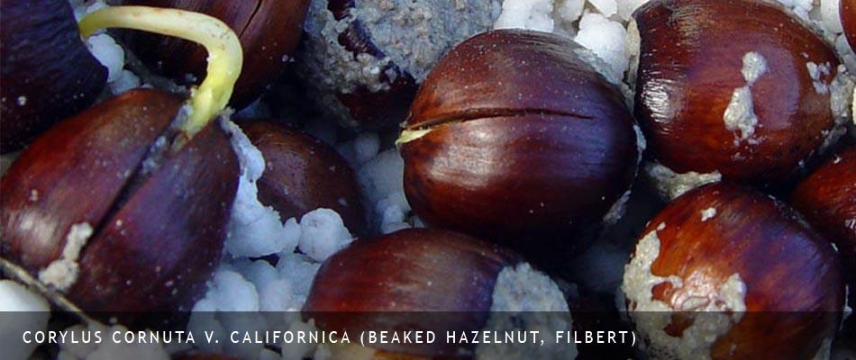 Corylus cornuta v. californica