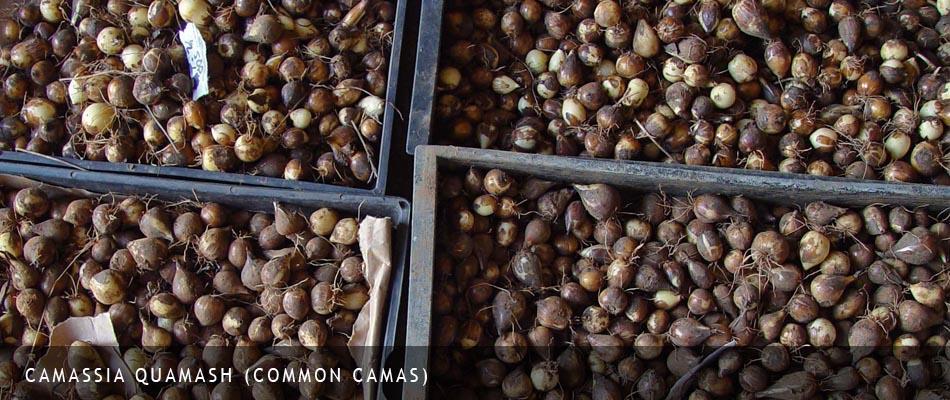 Camassia quamash bulbs