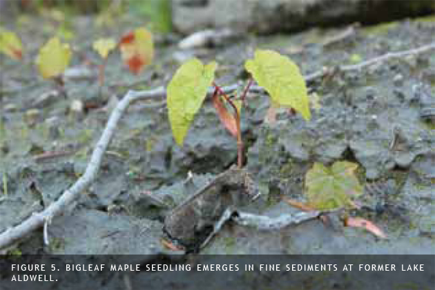 bigleaf maple seedlings emerging in former lake aldwell