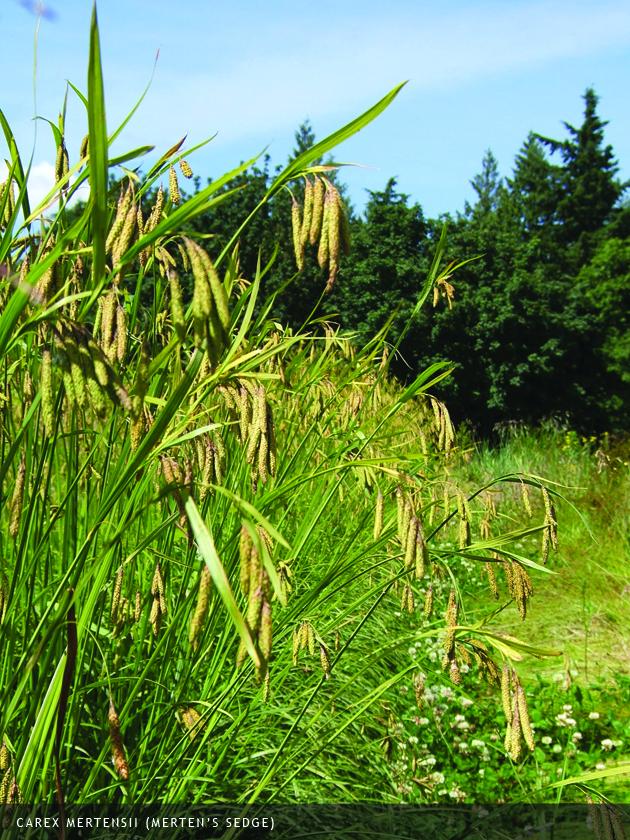 Carex mertensii (Merten's Sedge)