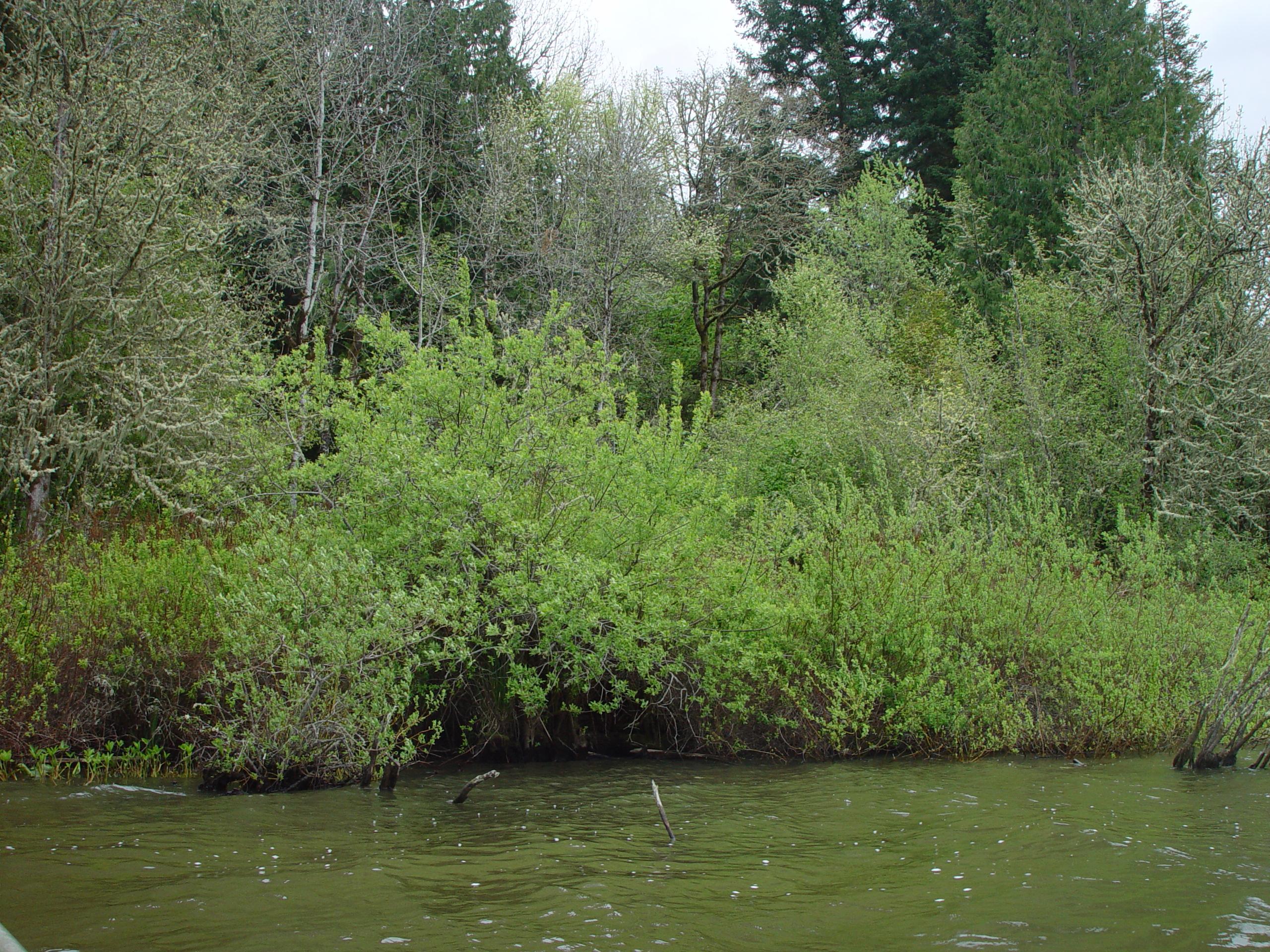 Salix geyeriana