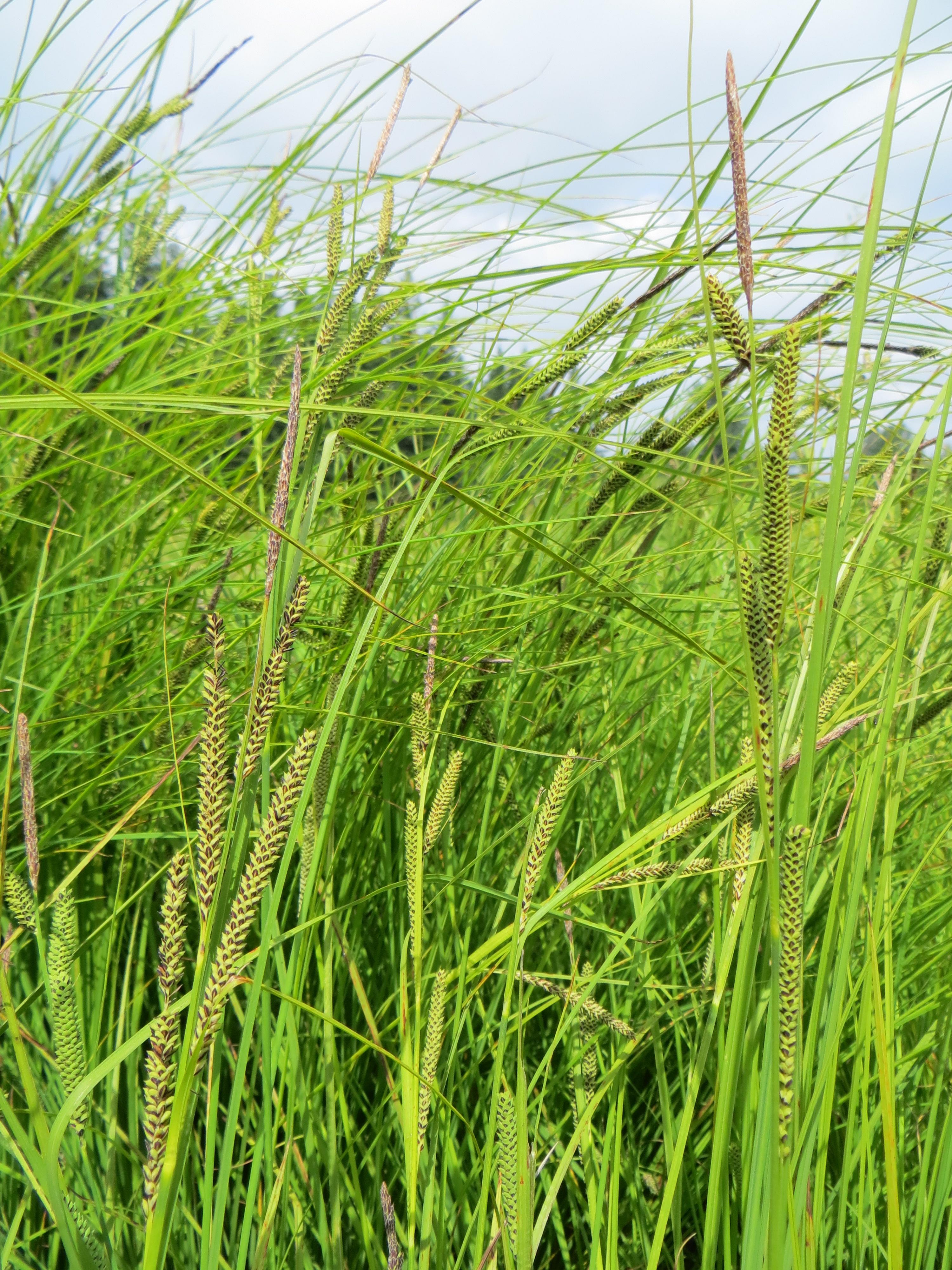 Carex aquatilis v. dives