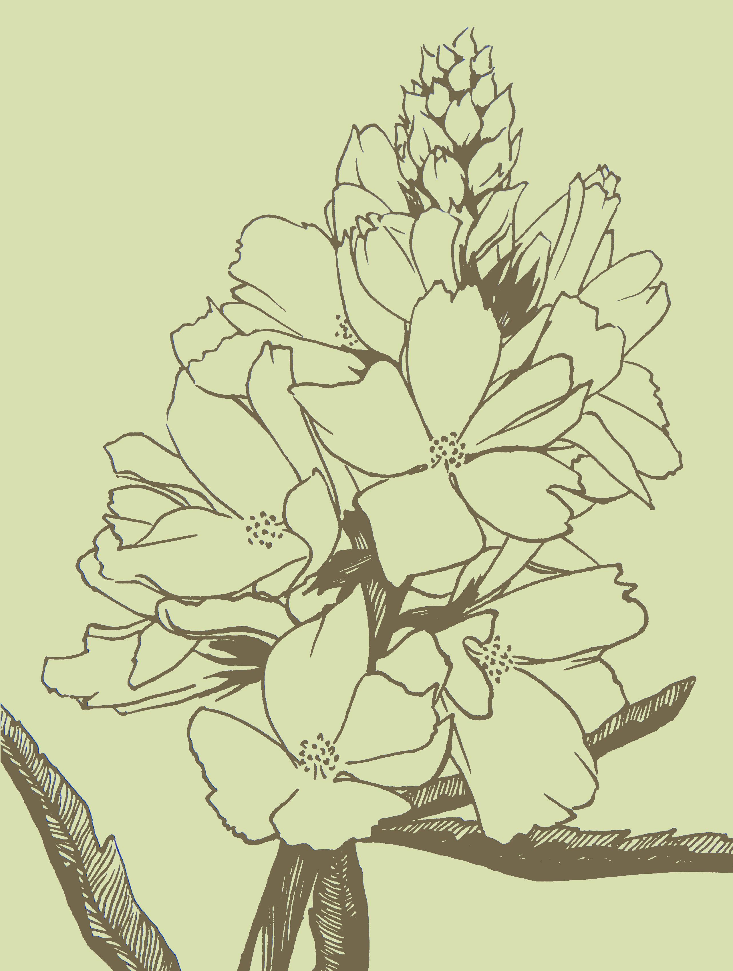 sidalcea image